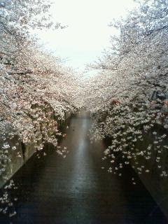 目黒川は桜が満開